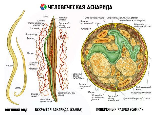 Ascaris biohelminth
