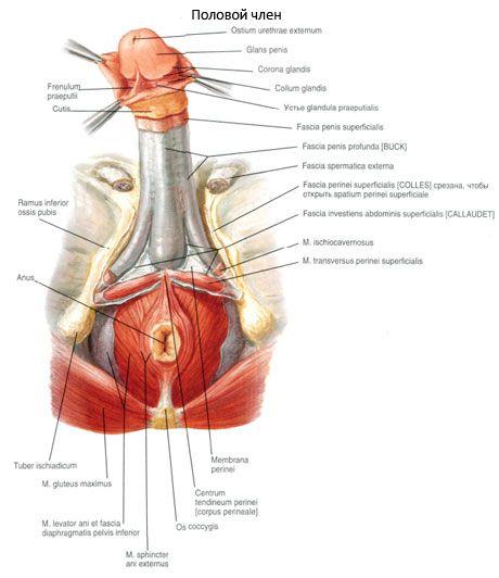 Frenulo del pene